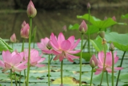Lotus flowers, Renee Naturally