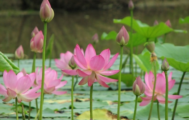 How to grow lotus from seed plant swap you may be lucky and be rewarded with a big beautiful bloom by the end of the season or you may have to wait one more year mightylinksfo Image collections